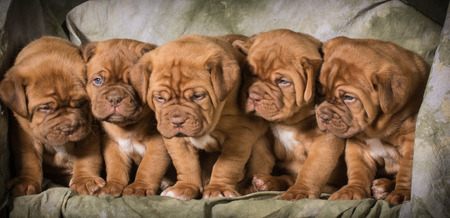 dogue de bordeaux: litter of dogue de bordeaux puppies - 5 weeks old Stock Photo