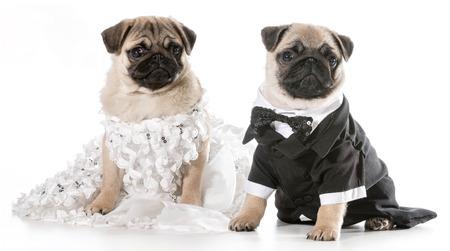 dog costume: dog bride and groom - pugs isolated on white
