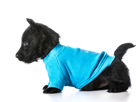 Scottish Terrier puppy wearing blue dog sweater isolated on white  photo