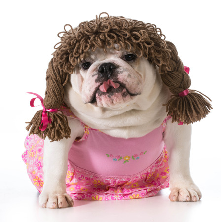wiggler: female dog - english bulldog wearing pink dress and pigtail wig isolated on white
