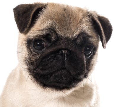 pug puppy portrait isolated on white  photo