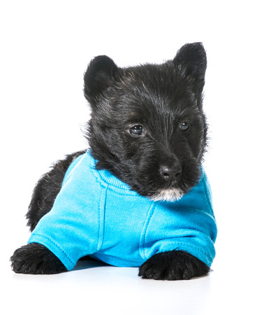 Scottish Terrier pupy wearing blue sweater isolated on white