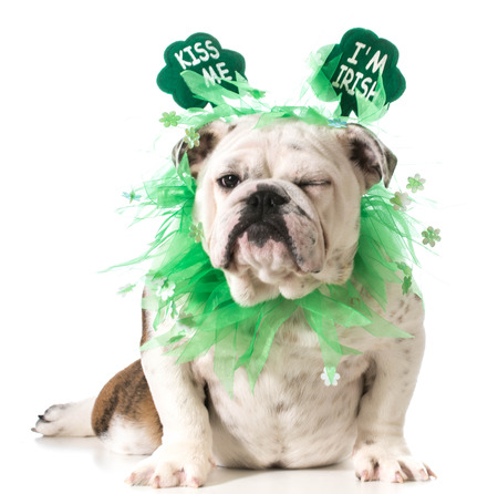 St. Patricks Day dog - english bulldog wearing kiss me I'm Irish headband isolated on white background photo