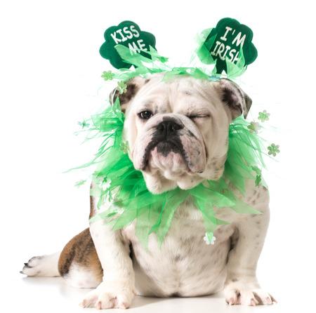 St. Patricks Day dog - english bulldog wearing kiss me Im Irish headband isolated on white background