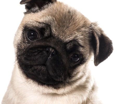 pug puppy portrait isolated on white background photo