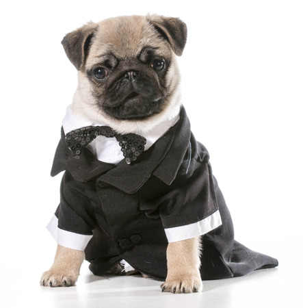 formal dog - pug wearing tuxedo isolated on white background Stock Photo