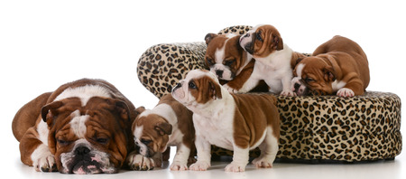dog family - english bulldog father and five puppies isolated on white background photo
