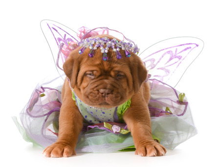 pampered pets: female puppy - dogue de bordeaux - five weeks old Stock Photo