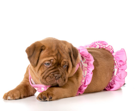 dogue de bordeaux: dog wearing pink bikini - dogue de bordeaux