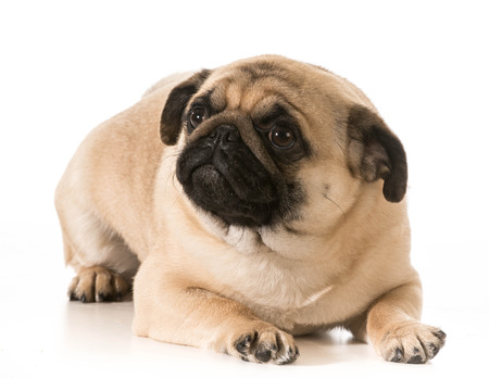 worried dog - pug laying down looking up isolated on white background photo