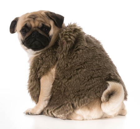 small butt: pug wearing fur coat looking over shoulder isolated on white background Stock Photo