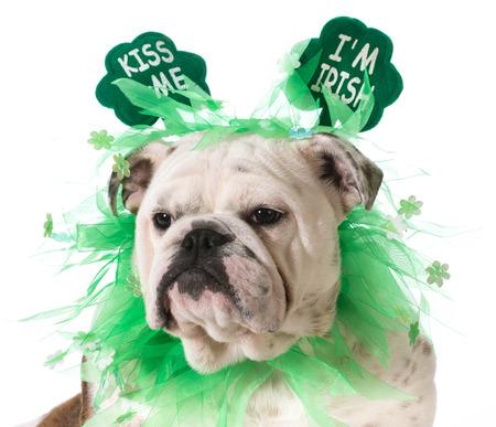 St. Patricks Day dog - english bulldog wearing kiss me Im Irish headband isolated on white background photo