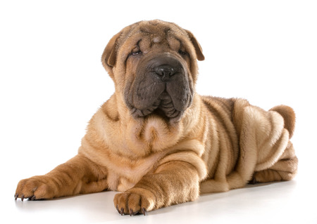 chinese shar pei puppy laying down looking at viewer isolated on white background photo
