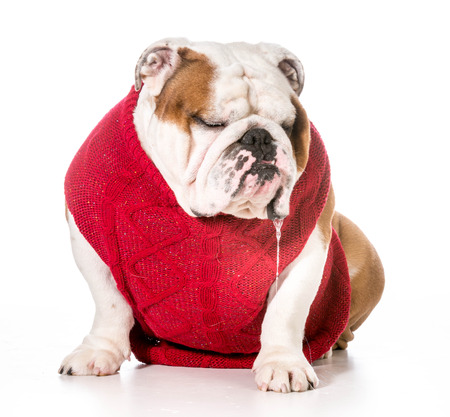 drool: dog wearing red sweater with drool dripping out of mouth