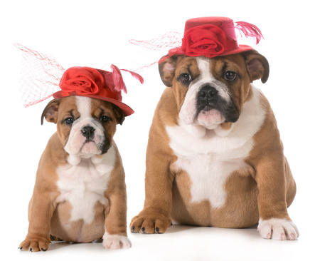 puppy growth - english bulldog at two months old and four months old wearing same hat  photo