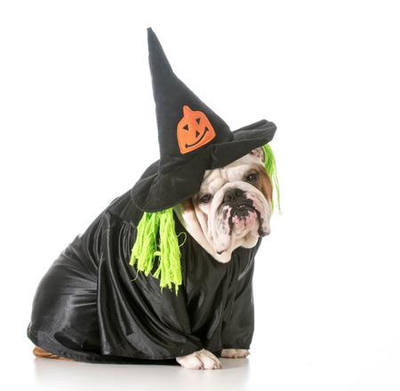 wicked: english bulldog wearing witch costume Stock Photo