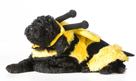 dog in costume: barbet puppy wearing bee costume on white background