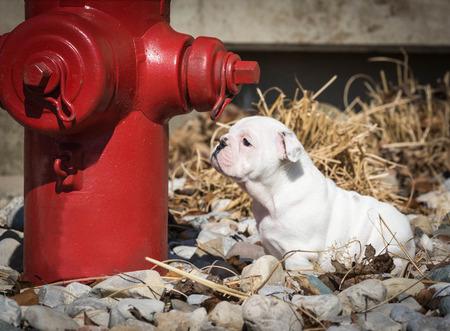 borne fontaine: petit bulldog anglais renifler rouge bouche d'incendie
