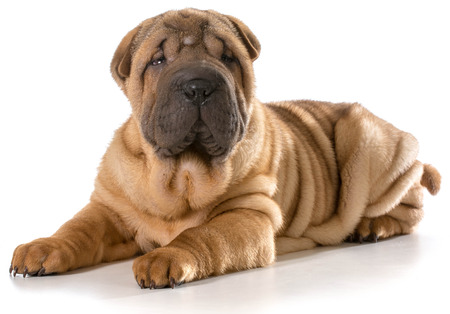 chinese shar pei puppy laying down looking at viewer isolated on white background - 4 months old photo