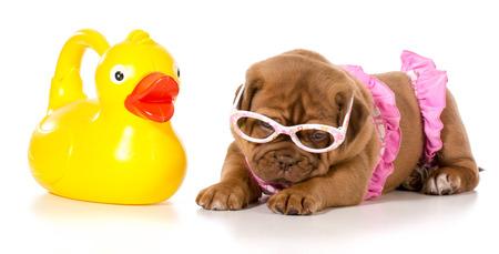 bathing costume: dog in bikini with rubber duck
