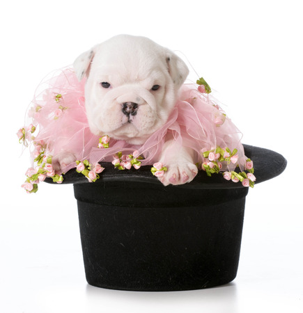 stocky: cute puppy - english bulldog puppy sitting in a black tophat Stock Photo