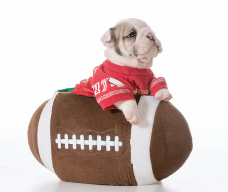 sports hound - bulldog puppy inside a football photo