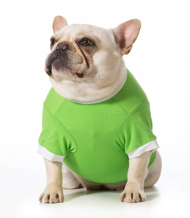 green clothes: french bulldog  wearing green sweater