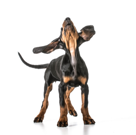 coon: cute puppy - black and tan coonhound looking up