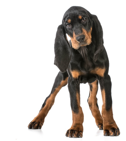 coon: cute puppy - black and tan coonhound standing looking at viewer