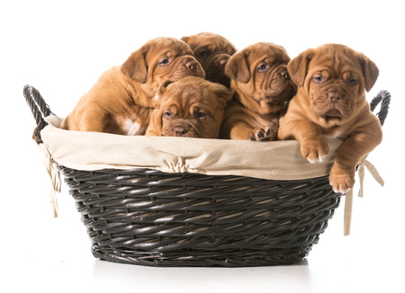 litter of puppies in a basket - dogue de bordeaux - 5 weeks old photo