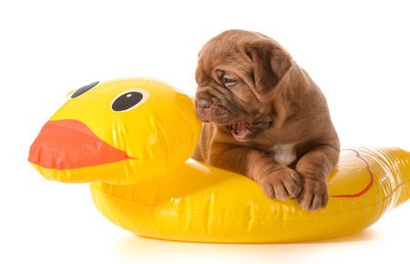 dogue de bordeaux: dog water safety - dogue de bordeaux in floatation device Stock Photo