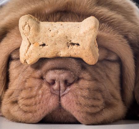 hueso de perro: perro con un hueso - Dogo de Burdeos cachorro con un buscuit perro en la nariz