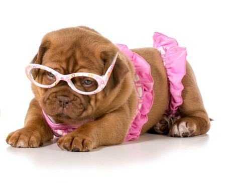 bathing costume: dogue de bordeaux wearing pink bikini and glasses