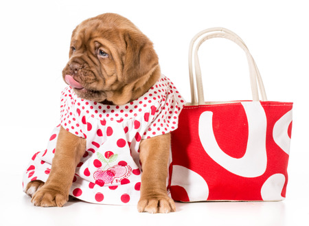 female puppy - dogue de bordeaux wearing a dress - 4 weeks old photo