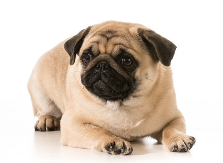 pug laying down isolated on white background photo