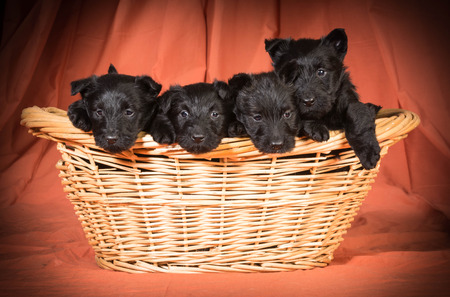 litter of scottish terriers in a basket on orange background photo