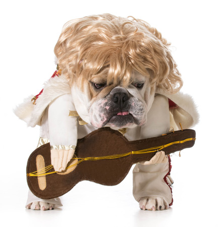hound dog - english bulldog playing guitar isolated on white photo