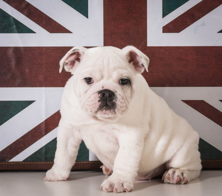 Bored English Bulldog English Bulldog Puppy Sitting