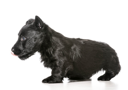 scottish terrier puppy licking lips isolated on white background photo