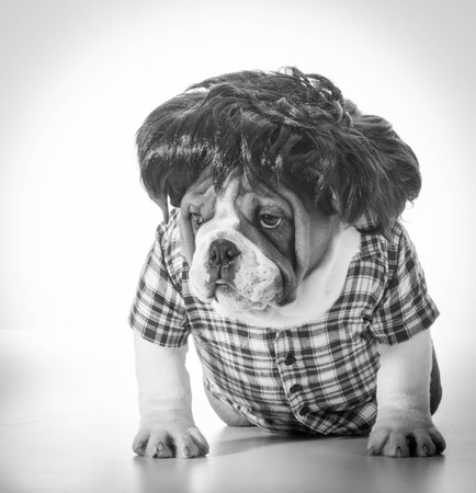english bulldog wearing wig and plaid shirt photo