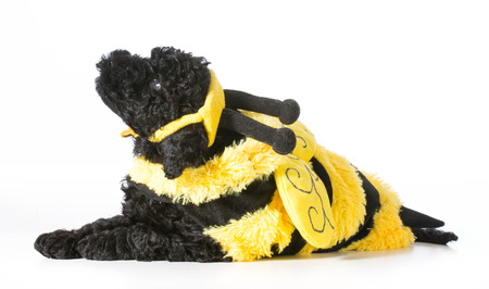 barbet puppy wearing bee costume photo