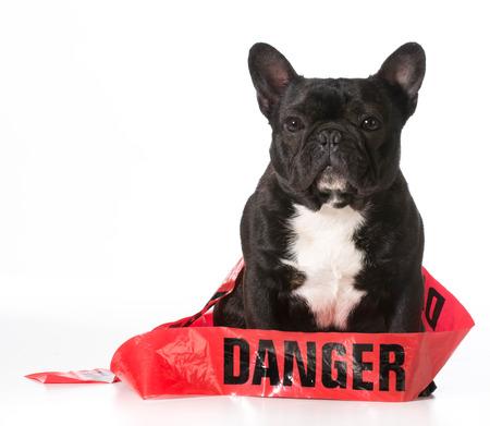 danger: french bulldog wrapped in danger tape