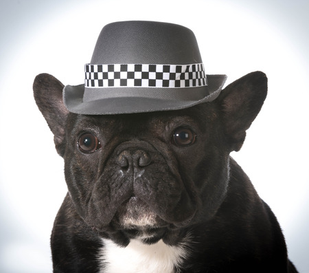 fedora: french bulldog wearing fedora hat Stock Photo