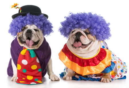 two english bulldog wearing clown costumes