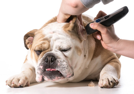dog grooming - english bulldog getting ears shaved Stock Photo