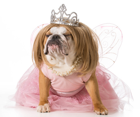 spoiled dog - english bulldog wearing princess costume photo
