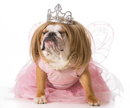 pampered pets: spoiled dog - english bulldog wearing princess costume