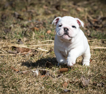 pupy: english bulldog pupy running outside in the grass Stock Photo