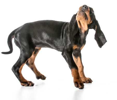 worried dog - black and tan coonhound with scared expression Stock Photo