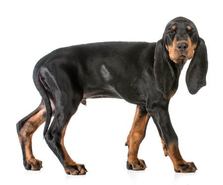 soulful eyes: dog winking - black and tan coonhound  on white background